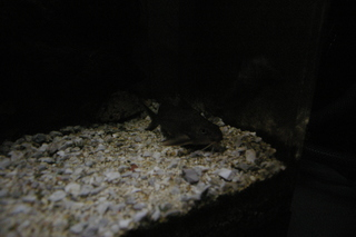 moon_light_synodontis.JPG