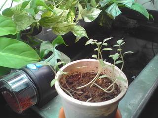 tomato_20090629_02.JPG