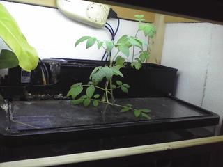tomato_20091019_1.JPG